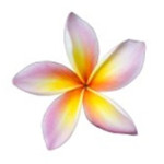 plumeria-fragrance-thumb-2